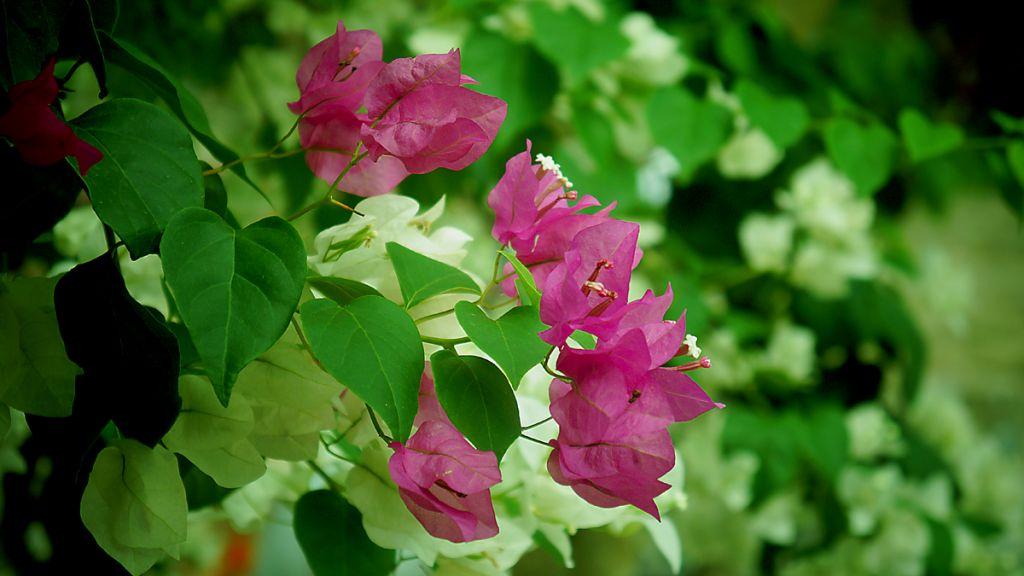 Hoa giấy trồng theo kiểu cây kiểng