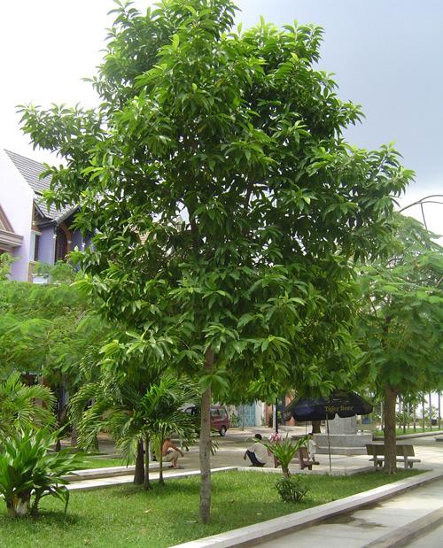 hàng cây ngọc lan đẹp trên vỉa hè- tạo cảnh quan bóng mát