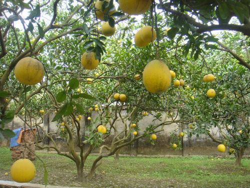 Cây Bưởi được trồng nhiều trong vườn ăn quả