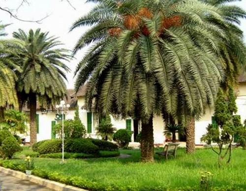 cây Chà là được sử dụng rất nhiều trong thiết kế cây xanh cảnh quan sân vườn