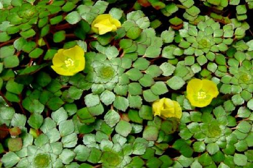 Củ Ấu gồm vài loài thực vật thuộc chi Trapa