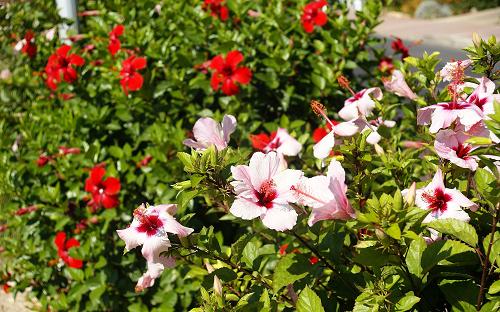 Hoa Dâm Bụt có thân cây phát triển tốt cùng với màu sắc hoa rực rỡ