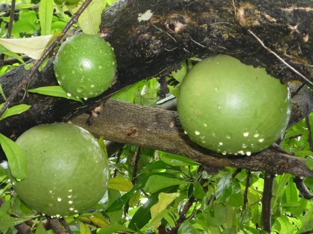 Cây Đào Tiên có tên khoa học là Crescentia cujete, có nguồn gốc ở Mỹ châu nhiệt đới