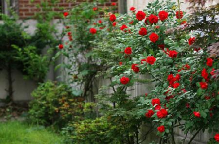 Hồng leo đẹp trồng theo bờ tường rào sân vườn