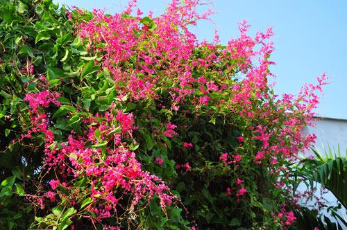 Chọn cây trồng làm giàn hoa đẹp cho nhà phố