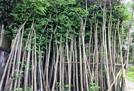 cây giáng hương phân bố phía tây vietnam