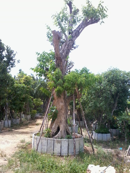 cây gỗ quý giáng hương cũng được trồng trong sân vườn đẹp