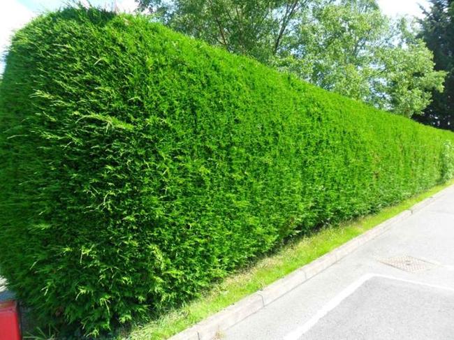 Hàng rào cây lá kim rất điển hình trong các khu vườn kiểu Pháp