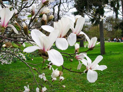 Hoa ban trắng được trồng trong vườn nhà, đô thị