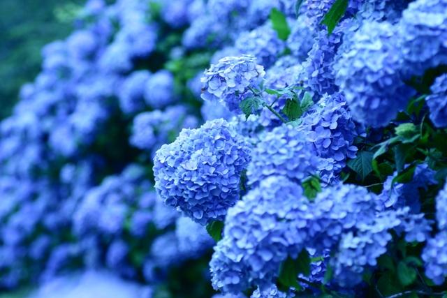 Cẩm tú cầu màu xanh lam