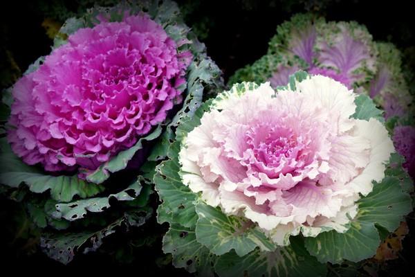 hoa hồng sa mạc trong sân vườn