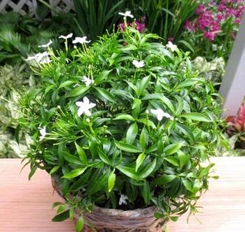 Hoa mai chỉ thiên trồng trong giỏ