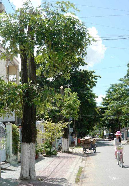 trồng hoa sửa trên đường