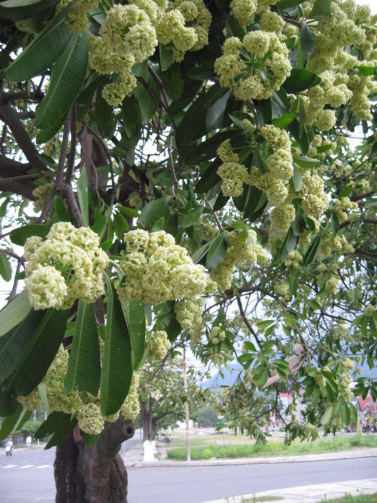 cây hoa sửa đẹp trong khu dân cư