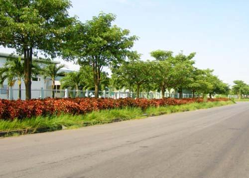 hoa sửa được trồng nhiều trên phố và trong sân vườn biệt thự