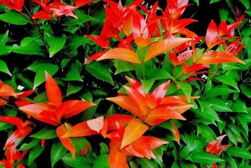 Hồng Lộc thuộc chi Trâm có xuất xứ từ các nước Châu Á nhiệt đới