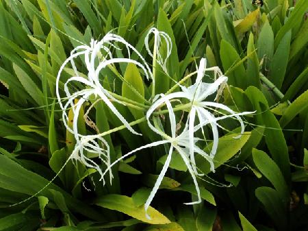 Lan sao hoa trắng là cây trồng làm cảnh phổ biến