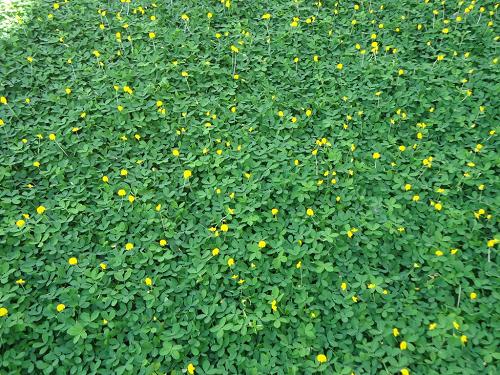 Cỏ lá lạc có hoa vàng đẹp