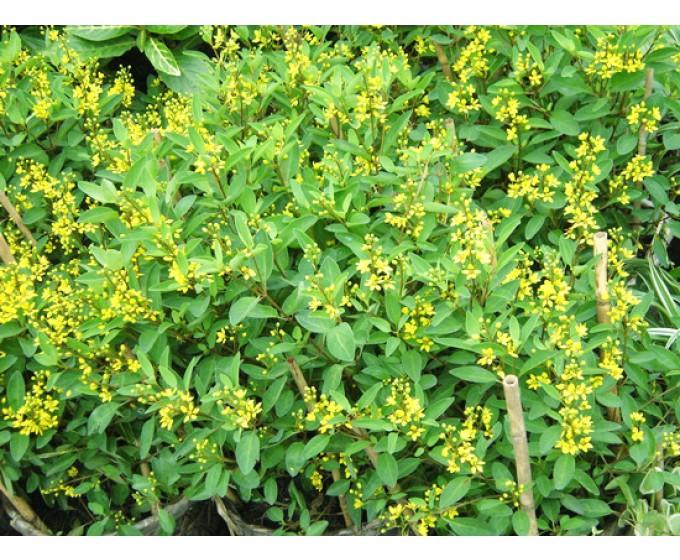 Cây trồng trong vườn kim đồng vàng