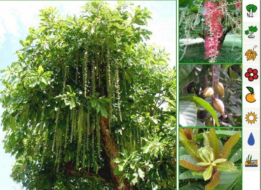 Cung cấp cây lộc vừng trồng làm cảnh- lấy bóng mát