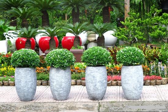 Hoa mai chỉ thiên trồng trong chậu làm cảnh