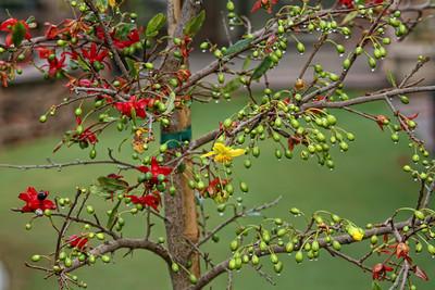 cây hoa mai tứ quý đẹp trong vườn
