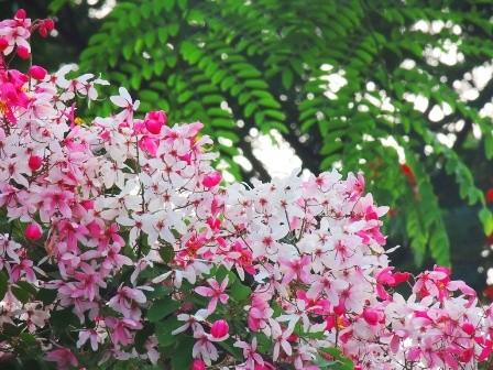 Muồng Hoa Đào, cây cảnh trong thiết kế nhà vườn