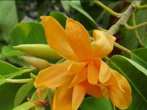 hoa ngọc lan nở vàng đẹp