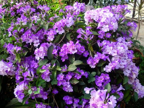 Dây tỏi được trồng làm hàng rào hoặc uốn thành giàn leo trang trí vườn biệt thự