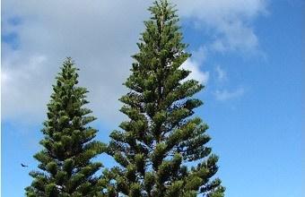 cây bách tán trong cảnh quan đô thị