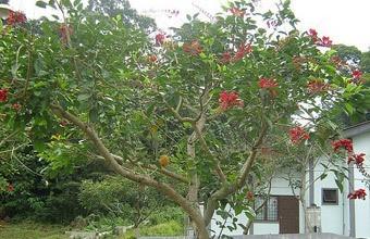 Cây Osaka đỏ đẹp