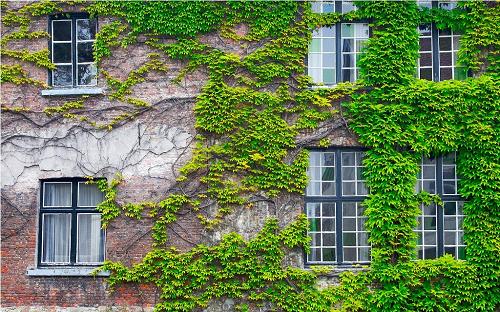 là cây cảnh thân rễ leo lên những vật khác như giàn, tường có thể phủ xanh và chắn nóng tốt