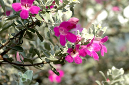 Hoa tuyết sơn phi hồng
