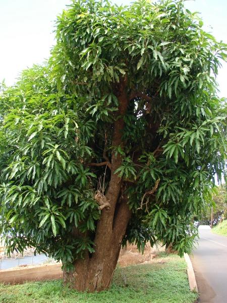 Xoài là cây lá xanh quanh năm, dễ trồng và dễ chăm sóc