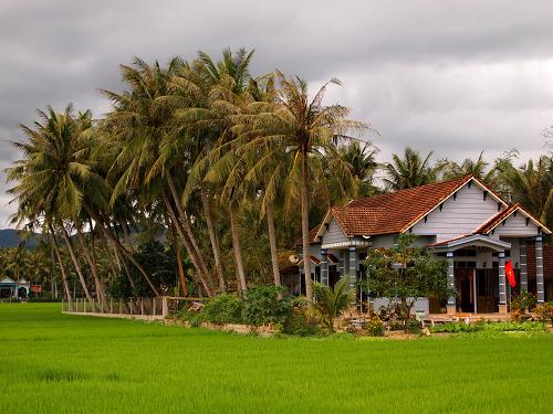 Dừa thường thấy trong vườn nhà dân