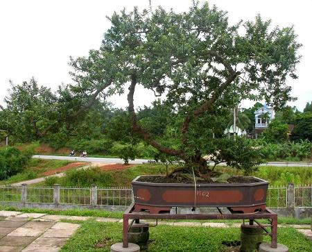 Ổi vừa là cây ăn quả vừa làm cảnh quan tốt